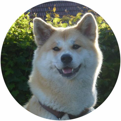 Japan Akita, Hund, Zucht, Hundezucht, Umeko of Kishi Ken, Iphofen, Unterfranken, Bayern