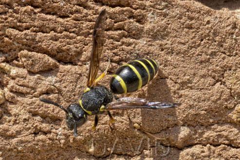 Schornsteinwespe Odynerus spinipes Insektennisthilfe Lehmwand  spiny mason wasp clay insect nesting aid