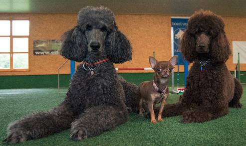Lola,Mabel und Ayoomi im Hundehotel Oberammergau beim Agility Training
