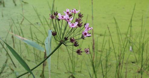 Die seltene und gefährdete Schwanenblume (Butomus umbellatus), Bild: Sandy Hamer