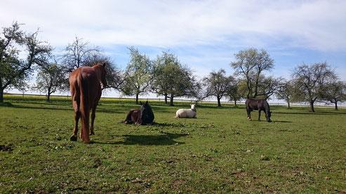 Pferdefreundschaften, Freundschaften unter Pferden, Stallwechsel, Stallumzug, Pferdebeziehungen, bewusst mit Pferden sein