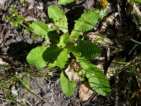 Junge Löwenzahn-Blätter
