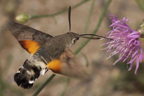 Das Taubenschwänzchen - der Kolibri unter den Insekten, Foto A. Schäfferling