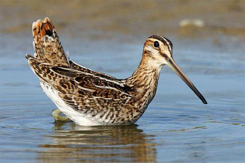 Bekassine – Vogel des Jahres 2013. Foto: NABU/Frank Derer