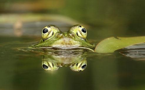 Kleiner Wasserfrosch © A-M.Kölbach