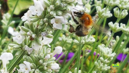 Wildbiene mit geometrisch geformten Pollenhöschen beim Nektarschlürfen an den Blüten des weißen Lavendels von K.D. Michaelis