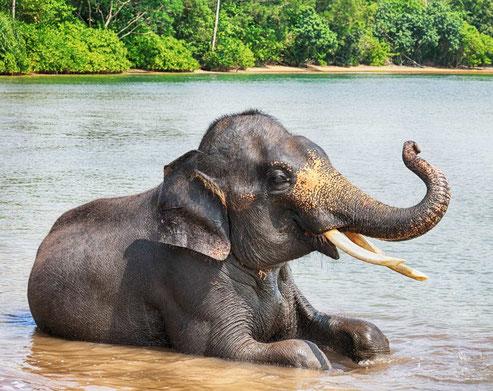 Prachtige olifant bij Tangkahan op Sumatra