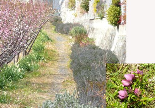 遊歩道沿いに続くローズマリーなど。その中に咲いてたクリスマス・ローズ。