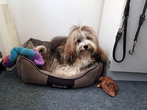 Das Hanneli als Bürohund bei Frauchens Arbeit