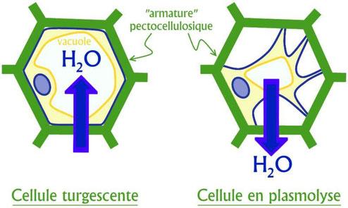 Schéma de la turgescence et de la plasmolyse d'une cellule végétale en fonction des flux d'eau