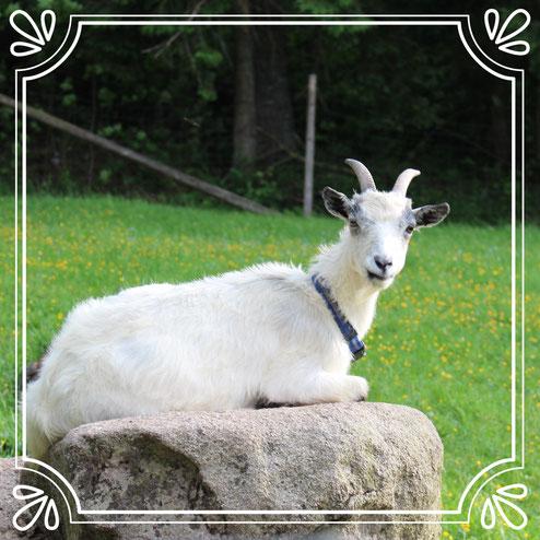 Lilli und Klara sind neu im Ziegengehege eingezogen und freuen sich über Besuch.