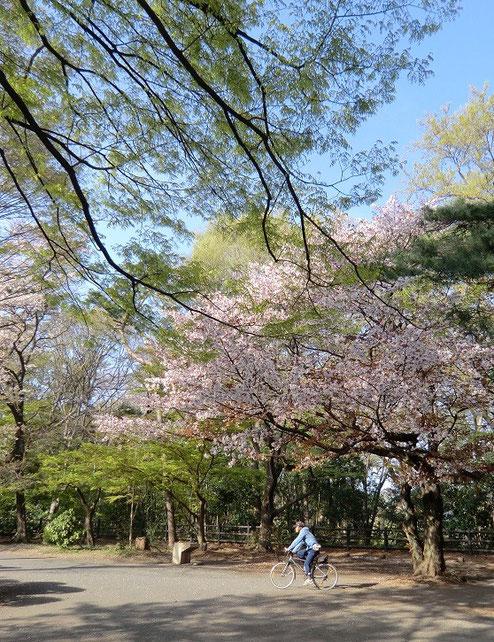 4月7日(2014) 桜から緑へ:井の頭公園・西園(グランド)の近くで