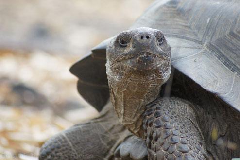Galápagos Inseln: Riesenschildkröten gaben dem Archipel seinen Namen