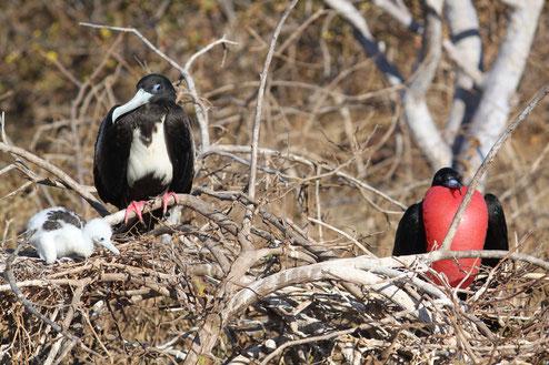 Galápagos Inseln: Fregattvögel sind Jäger in der Luft