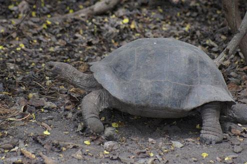 Schützenswerte Teierwelt auf den Galápagos Inseln: Galápagos Riesenschildkröte