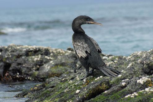 Entdecken Sie die endemische Tierwelt der Galápagos Inseln auf einer Kreuzfahrt mit ECUADORline