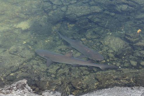 Weissspitzen Riffhaie - Galapagos sharks - Hammerhai - Galapagos-Hai