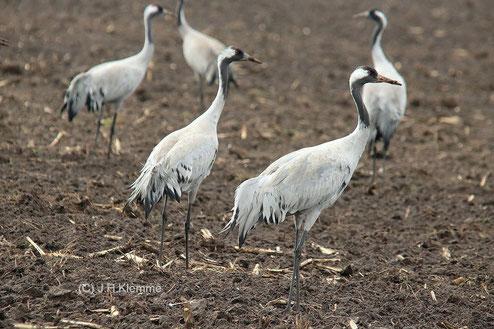 Kranich (Grus grus) Adulte Vögel bei der Nahrungssuche auf einem Acker in der Nähe vom Rehdener Geestmoor (Kr. Diepholz, NS) [März]