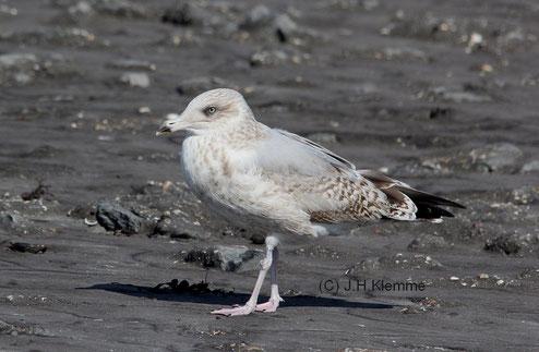Silbermöwe (Larus argentatus), Vermutlich ein Vogel im dritten Jahr. Küste bei Westkapelle, Zeeland [September]