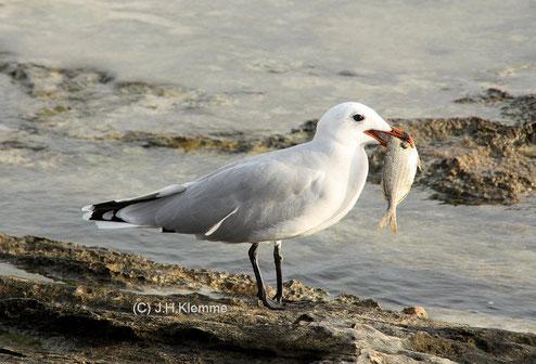 Korallenmöwe (Larus audouinii) adulter Vogel an der S-Küste von Mallorca [Oktober]