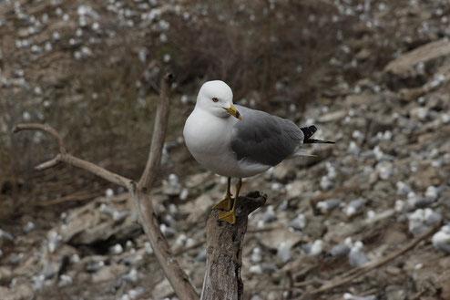 Vogelkolonie Niagarafälle