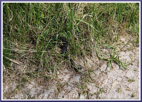 Kreuzotter (Vipera berus), 03.05.2020, Darß/Mecklenburg-Vorpommern