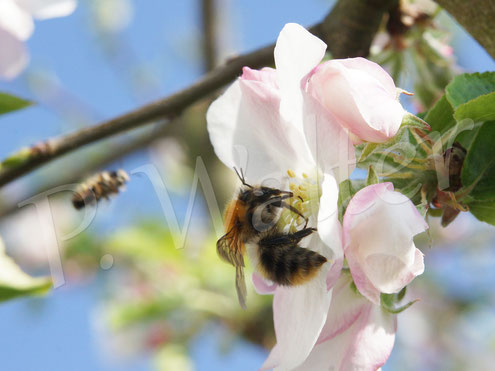 19.04.2018 : Hummel an einer Apfelblüte, hier der Dülmener Herbstrosenapfel