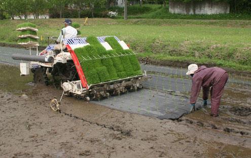 紙マルチを張りながらの田植えは特別な田植え機で行います。手間も時間も通常の何倍もかかります