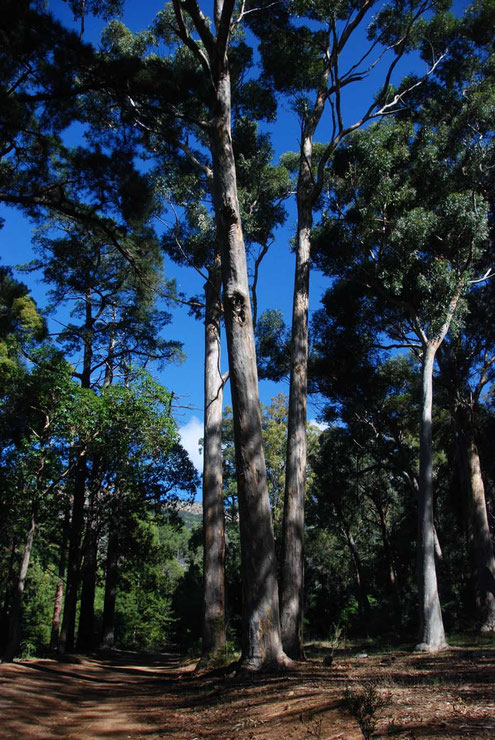 Towering invasive Eucalyptus in the Tokai Arboretum much criticised for roibbing the land of water and crowding out the fragile fynbos vegetation