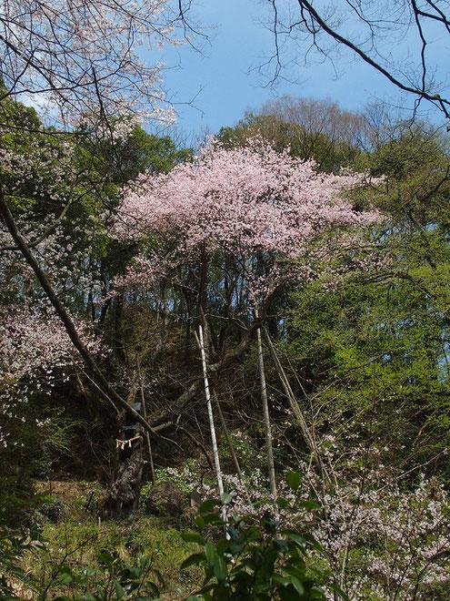 今年も元気に花を付けている。見ごろに立ち会えてラッキー。                   何年か前にこの桜の主幹が折れた。その修復作業を眺めていたことを思い出した。