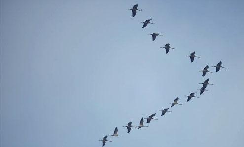 grues cendrées (source : oiseaux.net)