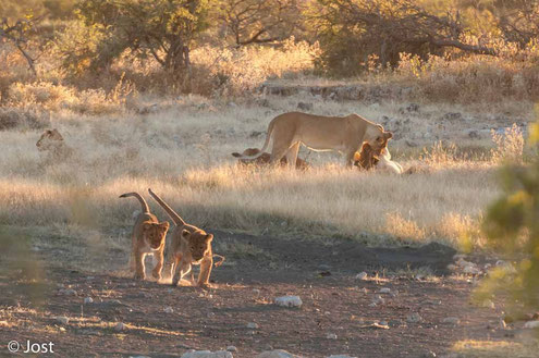 Löwenrudel in der Abendsonne am Wasserloch