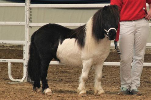Yago, Körung März 2019 Ponyverband Hessen