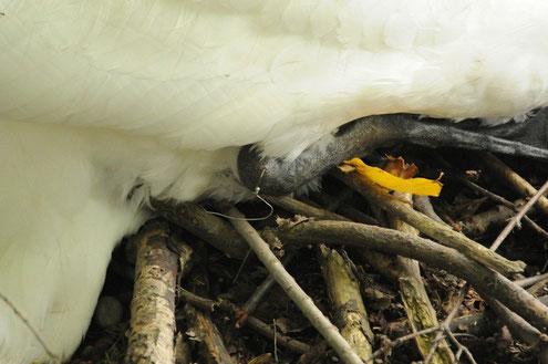 Der Angelhaken steckt tief im Sprunggelenk des Schwanenvaters.