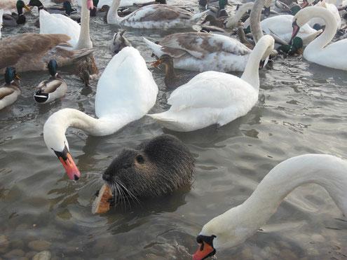 Auch Nutrias essen gerne Brot, und es bekommt ihnen sehr gut.