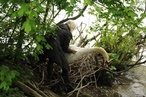 Carmen fängt den Schwanenvater vom Nest weg ein, um den Angelhaken zu entfernen.