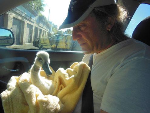 Durch Angelunrat schwer verletztes Schwanenküken, im Arm von Bernd.