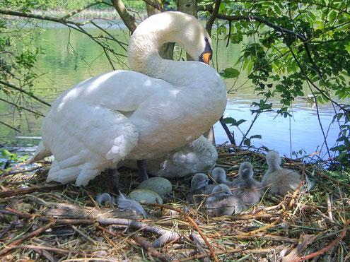 Die Schwänin auf dem Nest, mit 2 Eiern u. 5 geschlüpften Küken.