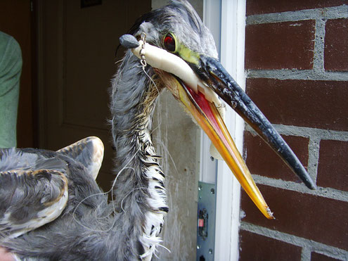 Beim Tierarzt: Graureiher mit Köderfisch und Angelhaken im Schlund, der Angelhaken verletzte von innen her das Auge, aus diesem Grund ist das Auge blutunterlaufen.