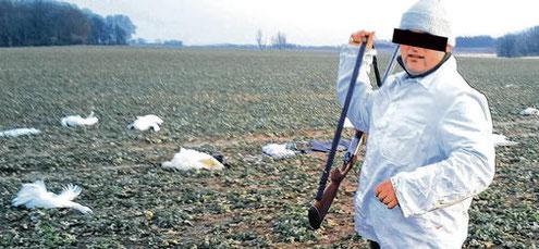 Foto (privat) aus der Ostseezeitung. Jäger erschoss 35 Schwäne.