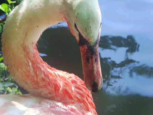 Schwan mit Angelhaken in der Zunge. Die Zunge ist durchtrennt und blutet stark.