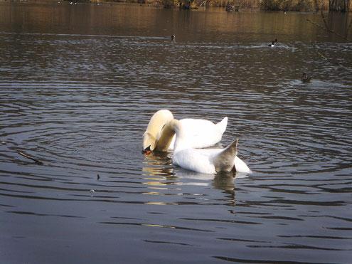 Höckerschwanenpaar beim Wassertauchen.