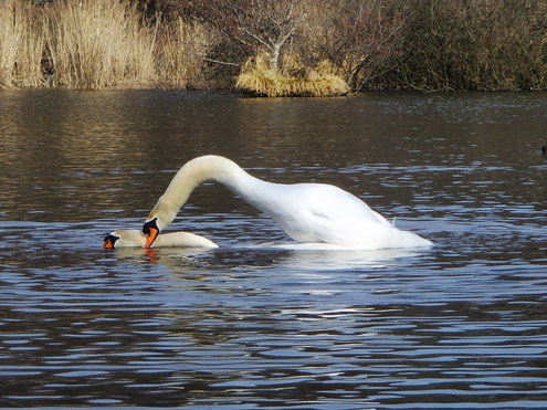 Durch Biss in den Hals und hockend auf der Schwänin, hält sich das Männchen  auf ihrem Rücken fest.