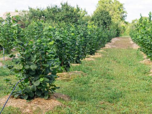 Trüffelbäume kaufen im Onlineshop - Selbst pflanzen im Garten oder auf der Trüffelplantage - Trüffelplantage mit Mulchmaterial und Bewässerung