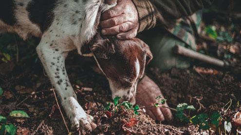 Trüffelsuche mit dem Trüffelhund     Die Trüffelsuche mit dem Trüffelsuchhund wird bereits ab dem 17. Jahrhundert durchgeführt. Eine typische Rasse für die Trüffelsuche ist der Lagotto Romagnolo
