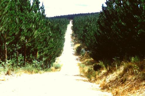 Pinus radiata-Plantage bei Cargnham / Victoria, Australien  [© Foto: Dr. G. Strobel]