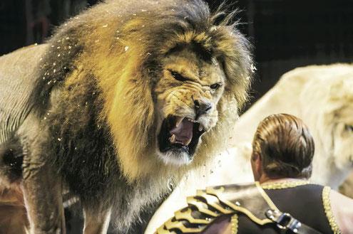 迫力満点の世界猛獣ショー。威風堂々としたたたずまいのホワイトライオンにも注目だ(木下サーカス提供)
