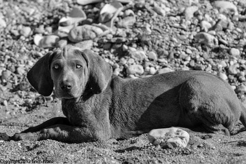 Junger Weimaraner Welpe liegt am Sand