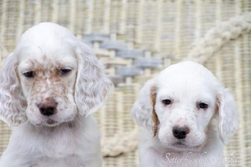 English Setter by white Angel. www.angel-setter.de Setter Entwicklung. Goethe (G-Wurf) und Hilarius (H-Wurf). Goethe ist neun Tage älter.