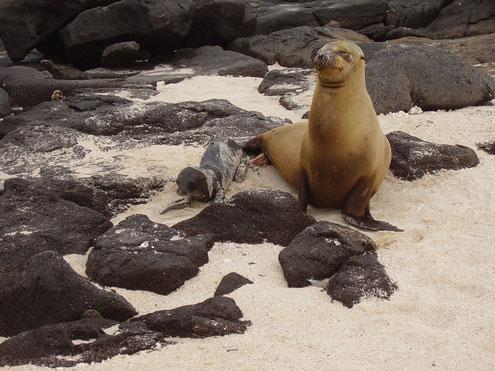 Seelöwen Baby - Seelöwen Jungtier auf den Galápagos Inseln